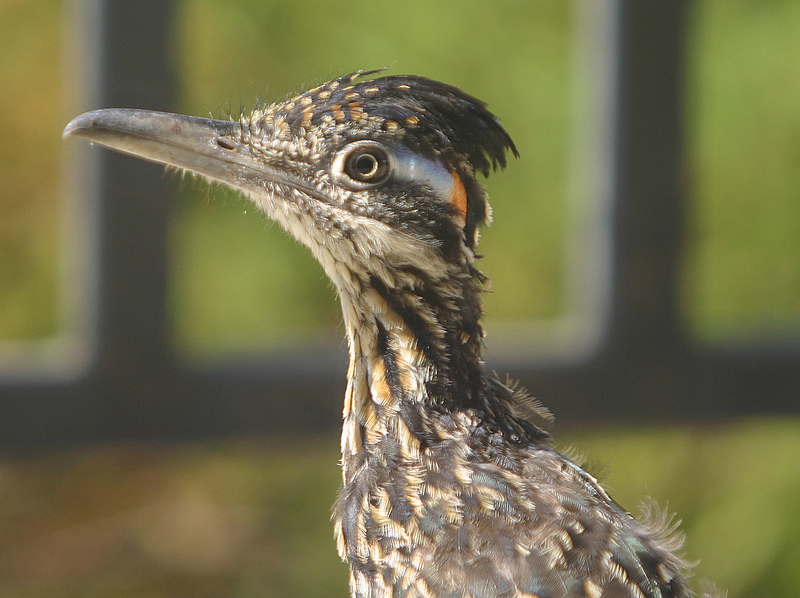 Up close side view of a roadrunner