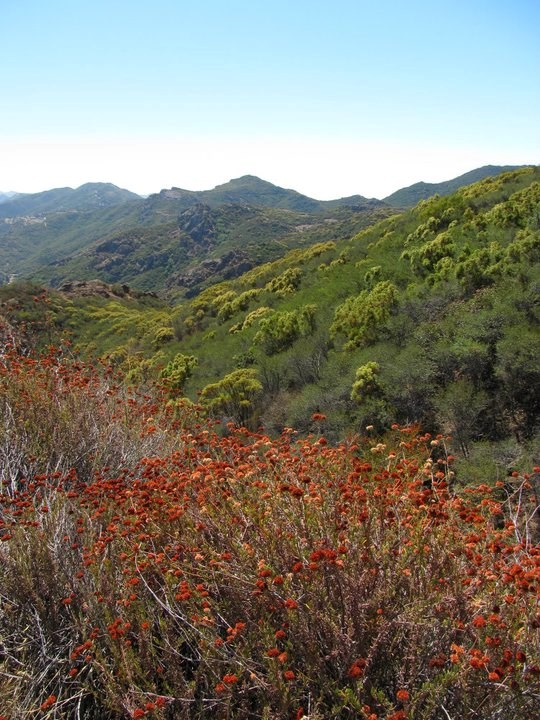 Orange flowering plants give contrast to the dark green of other chaparral species.