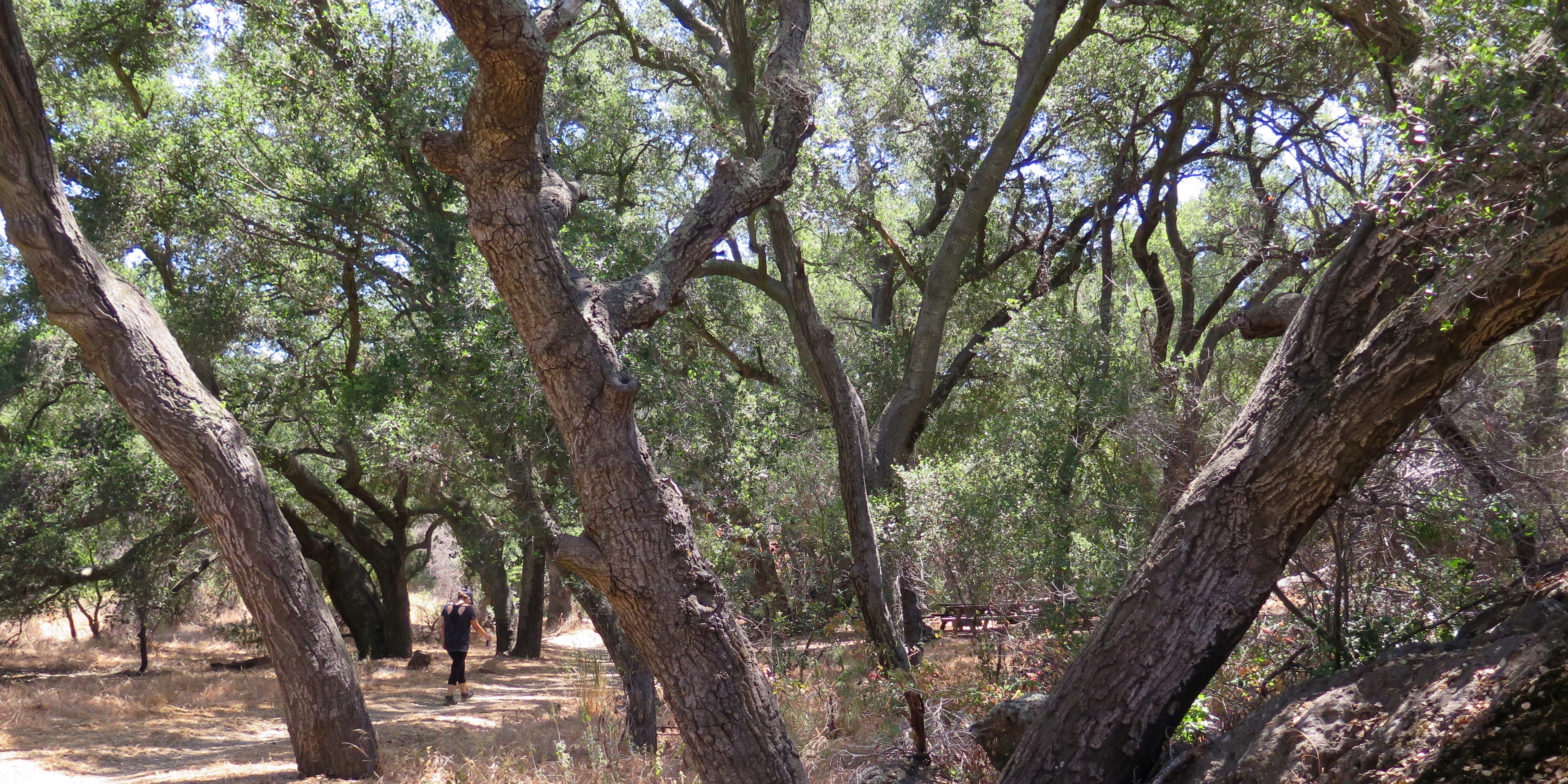 Hiker walking under oak trees