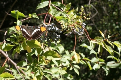 A California Sister butterfly (adelpha californica) takes a rest on a bush in the Santa Monica Mountains.
