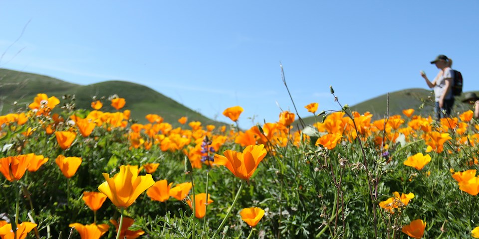 Field of California poppy flowers