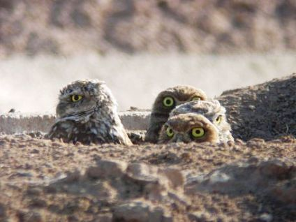 Four Burrowing owls peak out from their burrow in the ground