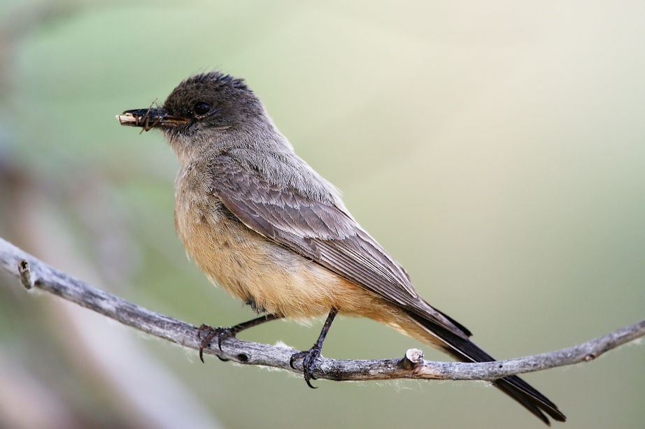 A Say's Phoebe on a tree branch