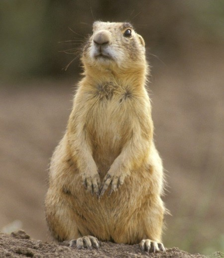 Prairie Dog standing on its hind legs