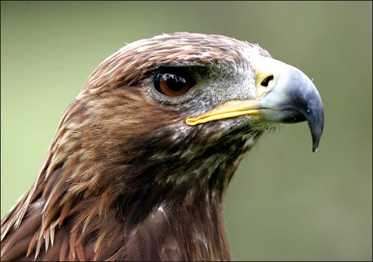 Close up of the head of a Golden Eagle like those often seen on the park.