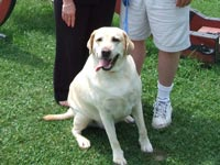 faithful yellow lab with his owners
