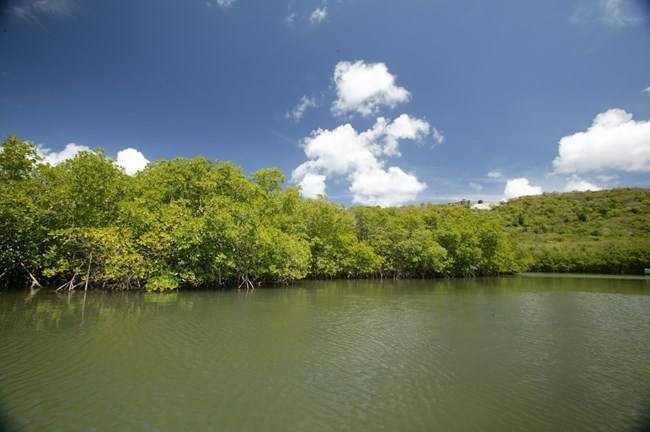 Photo of mangroves at Salt River Bay from the water