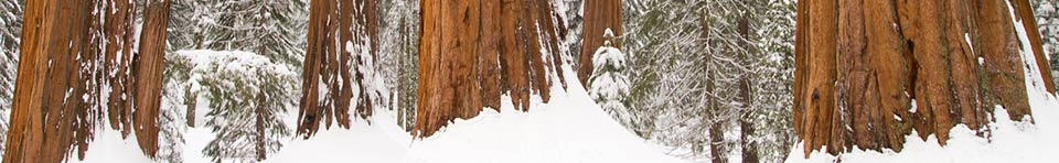 A snowy sequoia grove. Photo by Roland Rollinger.
