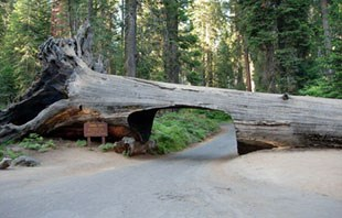 A road passes through hole cut into a fallen sequoia log