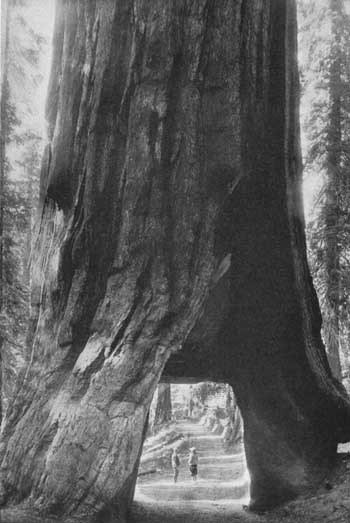 Wawona Tree with tunnel