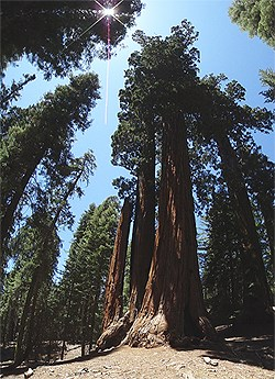 Giant sequoias and mixed conifers in the Giant Forest