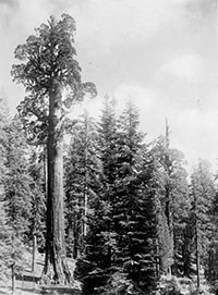 A black and white photo of a sequoia tree surrounded by smaller trees.