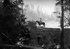 A black and white photos shows a man atop a horse that stands on a fallen giant sequoia near a meadow.