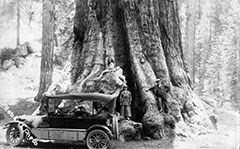 A black and white photo shows an early automobile parked in front of a giant sequoia trunk.