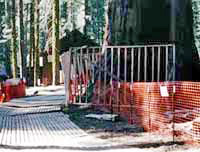 orange fencing protects a sequoia tree