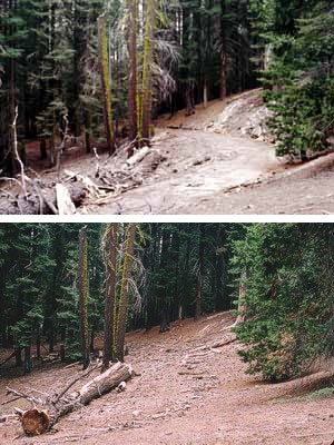 Above is a restored roadbed (2004) in the quondam Paradise Campground at the north end of the Giant Forest developed area.