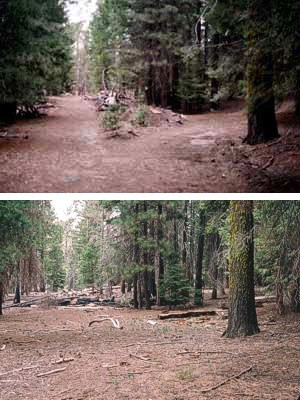 Above is a restored roadbed (2004) in the Sunset Campground at the north end of the Giant Forest developed area.
