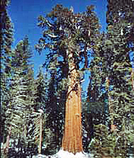 General Sherman tree towers over a collar of snow at its base with blue sky framing its crown.