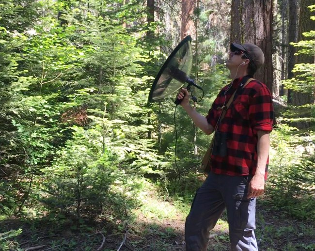 Scientist recording sounds in a conifer forest