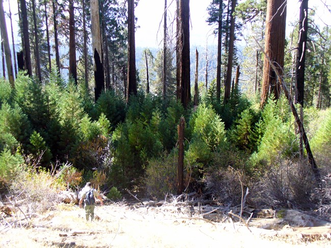Man walks toward young giant sequoia trees growing near a sunny gap in the forest and under larger trees, some of which were killed by a fire.