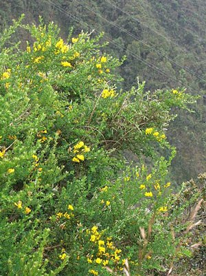 A French broom bush with yellow flowers