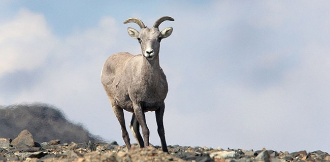 Bighorn Sheep Sequoia Kings Canyon National Parks U S National Park Service