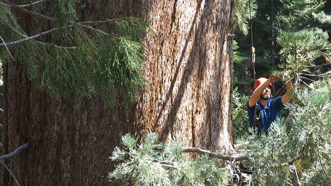 Research scientist collects foliage from a giant sequoia.