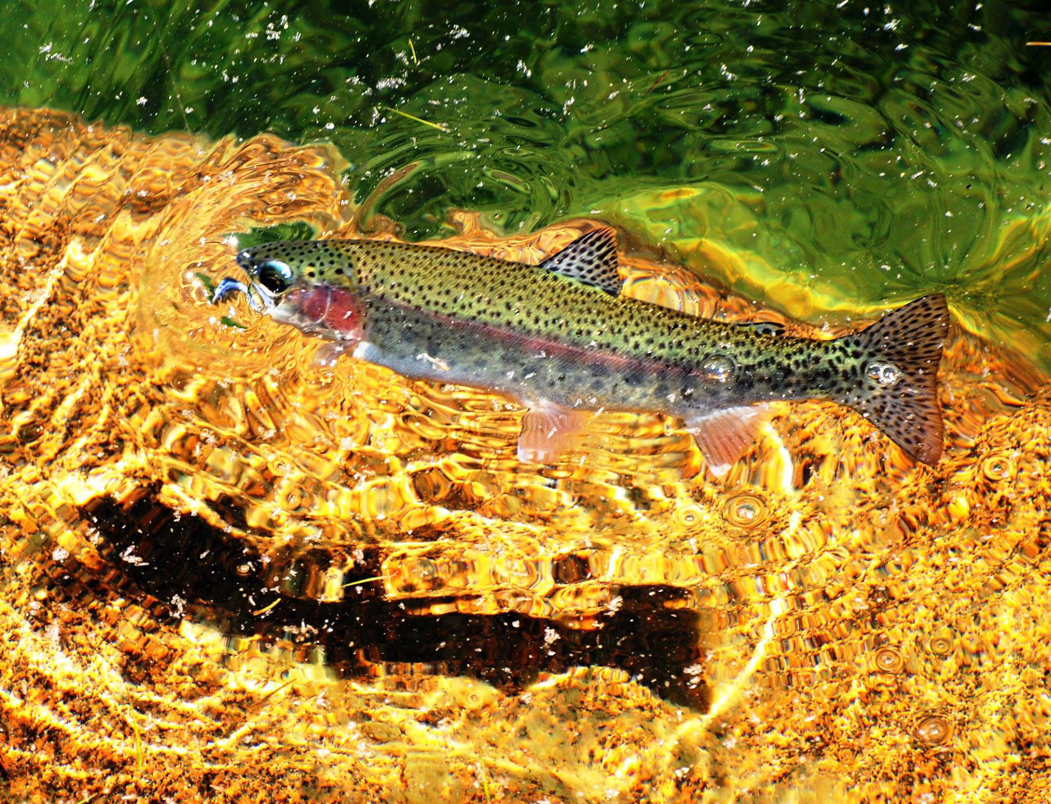 Rainbow trout. Photo by: Andy Harrison.