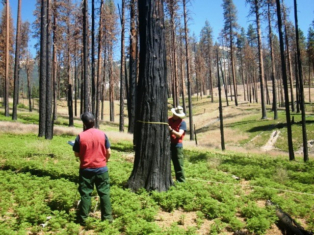2016 SEKI Fire Effects Monitoring Crew working out in the field taking tree diameter measurements.