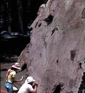 Researchers count the tree rings of a giant sequoia.