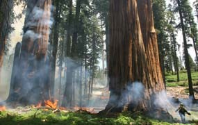 Firefighters ignite prescribed fires in sequoia groves to encourage giant sequoia germination.
