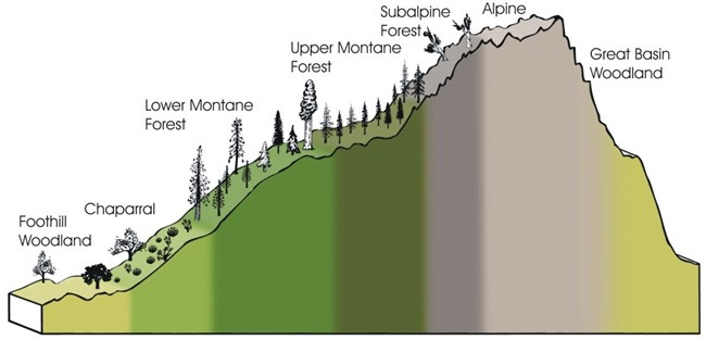 Sierra Nevada elevation gradient showing corresponding vegetation zones.