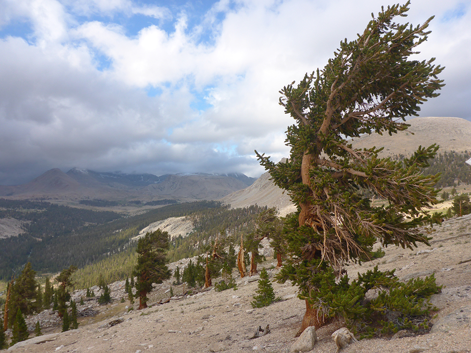 Foxtail pine on rocky slope in the high Sierra