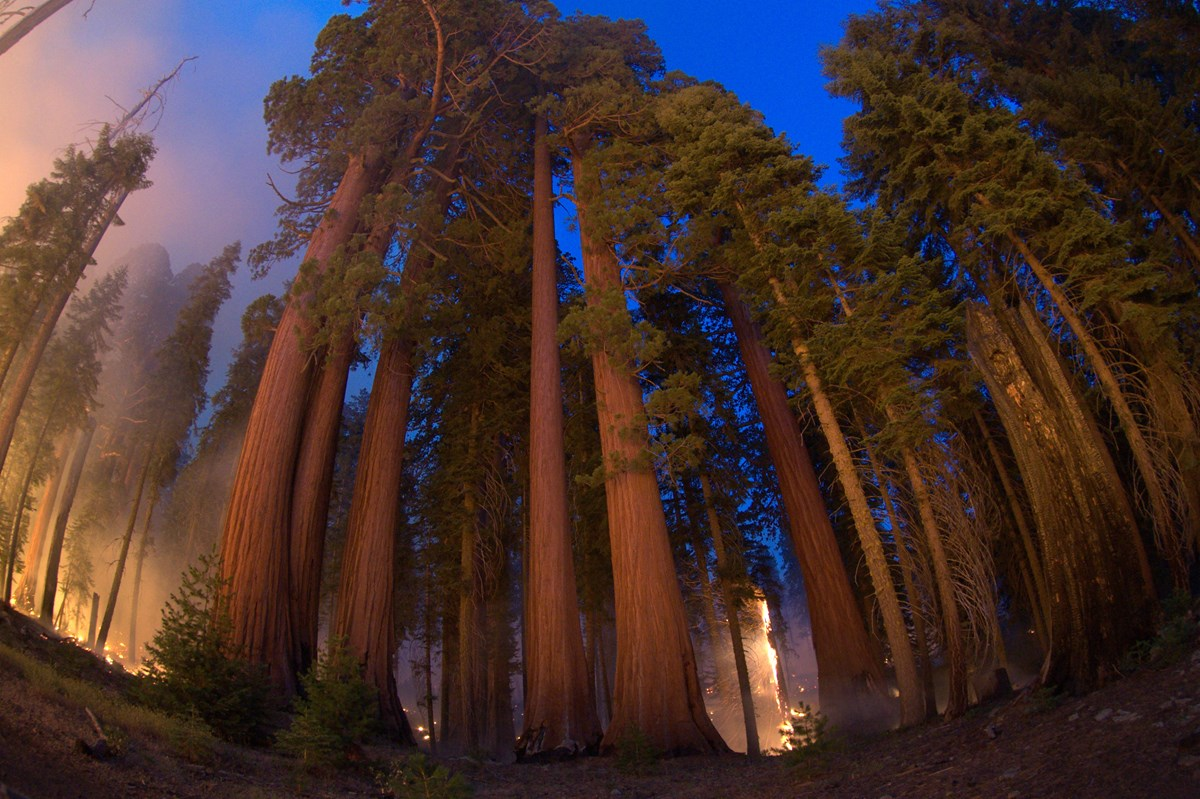 Wide angle photo showing a group of giant sequoias (from base to tree tops) and the glow of a fire burning behind them.