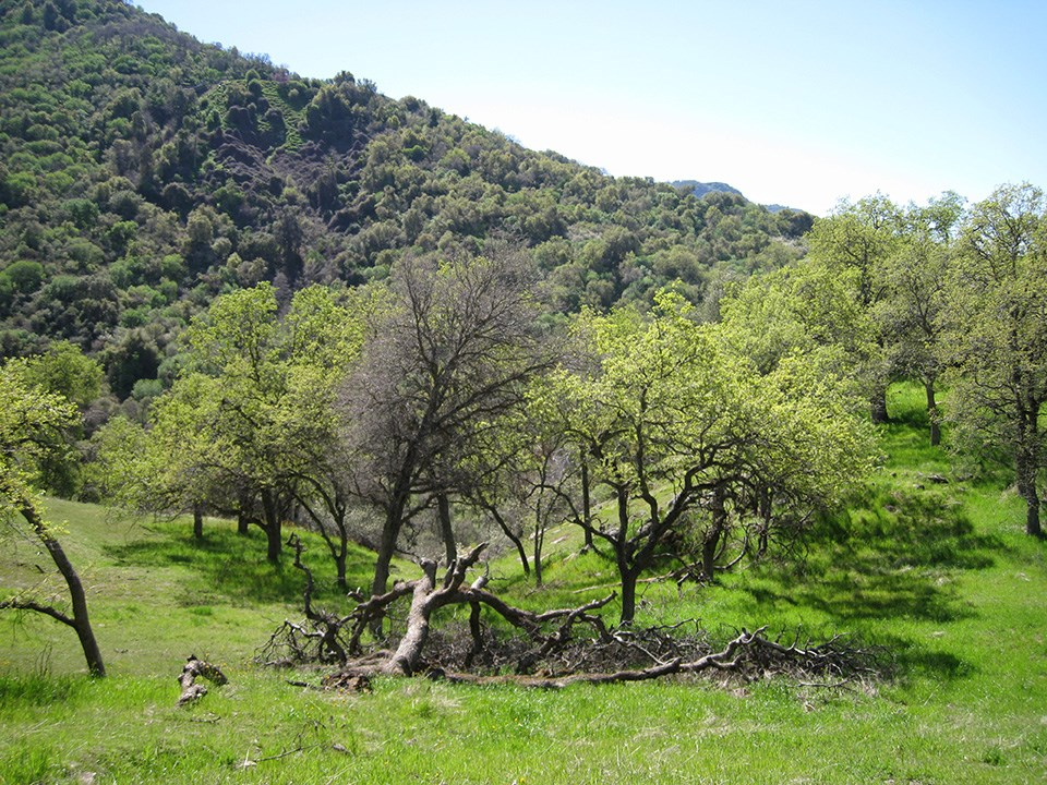 Blue Oak Woodland in Sequoia National Park foothills