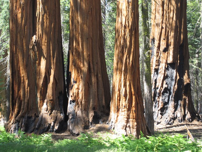 Giant sequoias displaying bark charring at base from fire