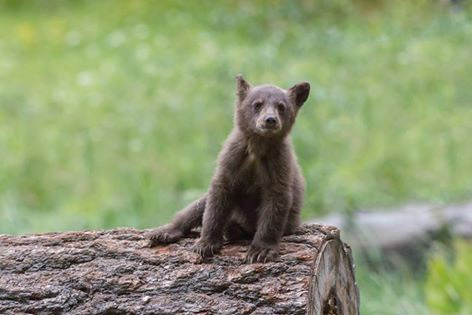 A bear cub sits on a log in a meadow