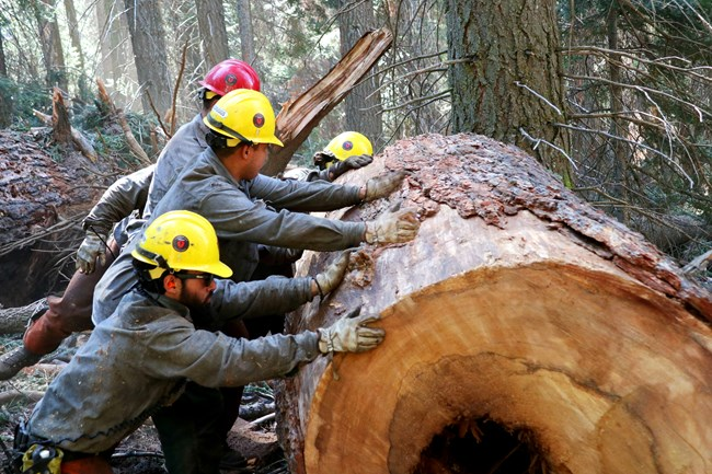 Five firefighters roll a large section of a tree away from a planned fireline.