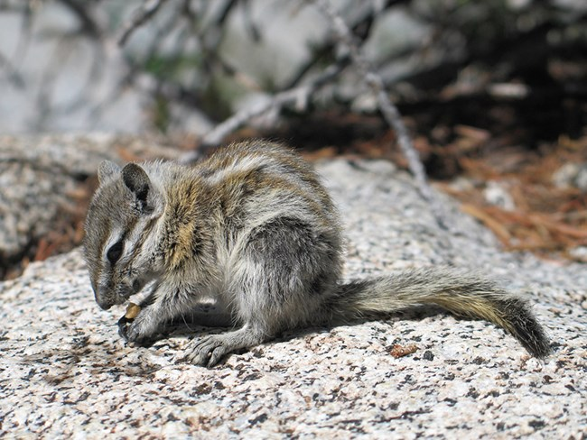 Alpine chipmunk in the Sierra Nevada