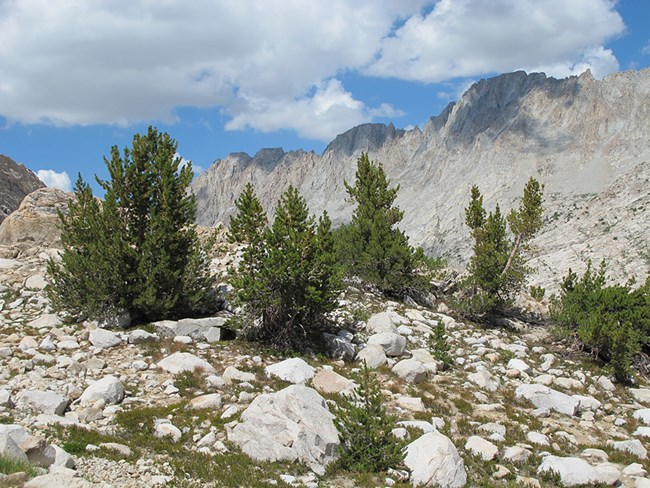 Whitebark pine in Kings Canyon National Park