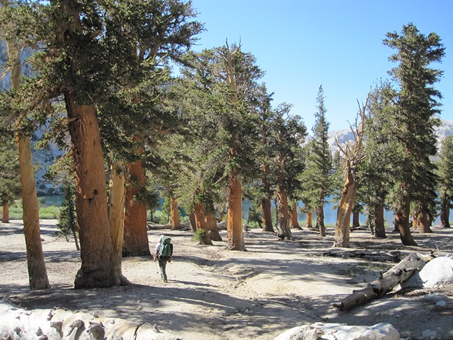 Hiker walks through foxtail pine stand in Sequoia National Park.