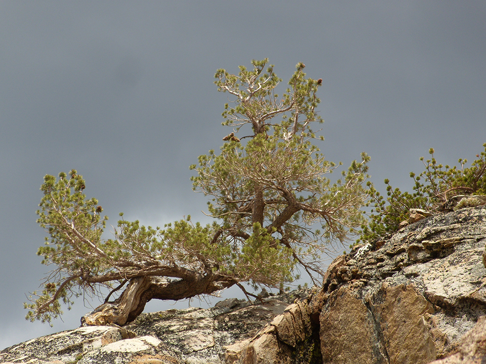 Limber pine bent over to withstand the harsh winds in this exposed high-elevation site.