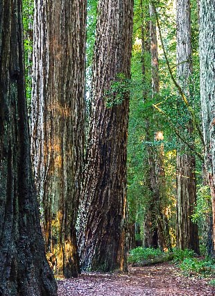 Trees in a redwood forest