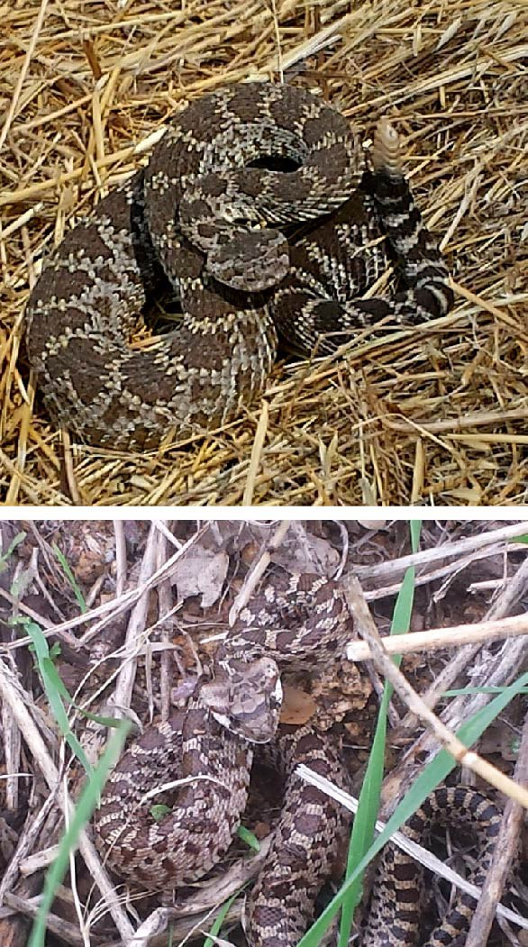 Western rattlesnake (above) and gopher snake (below).