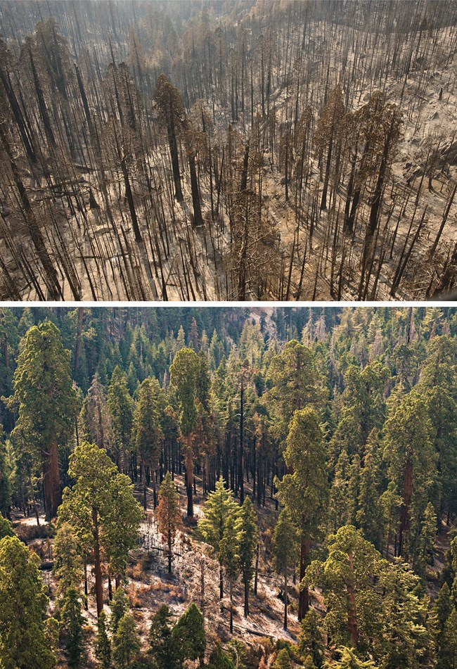 Upper photo: Aerial view of a large area of fire-killed sequoias. Lower: Aerial view of a giant sequoia grove with most sequoias still alive and few fire-killed trees.