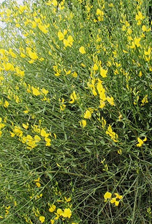 A large, flowering Spanish broom bush