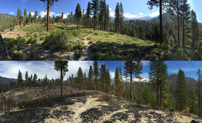 Comparison of Upper Lewis Creek previously treated with prescribed fire. The top photo was taken on July 8, 2015 prior to the Rough Fire. The bottom photo was taken on Sep. 29, 2015 after the Rough Fire came through. Notice the still standing live trees.