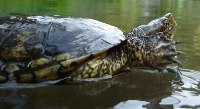 Western pond turtle swimming.