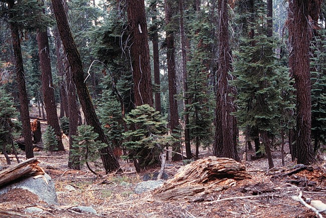 Red fir forest in Sequoia National Park