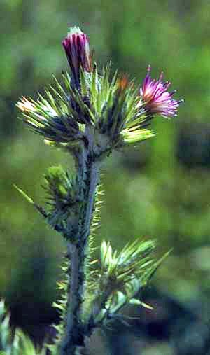 Italian thistle flowering head and spiny stems